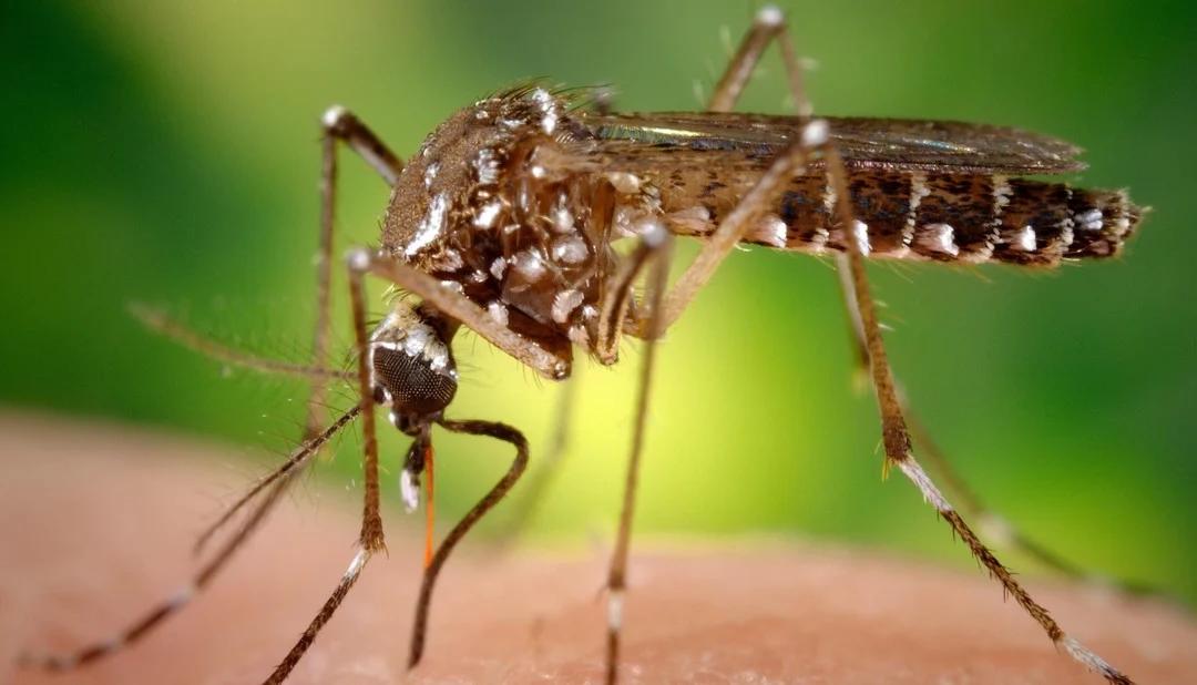 El calor reaviva la amenaza del dengue y convivirá con el coronavirus: como combatir al mosquito para evitar contagios